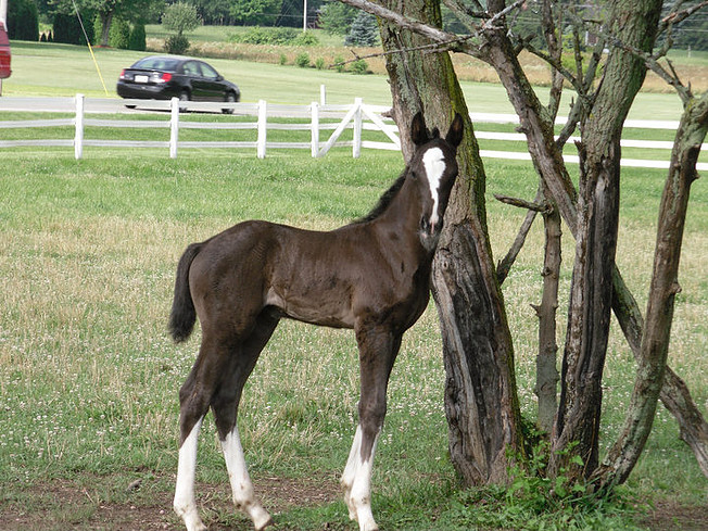 2010 Parcival Filly